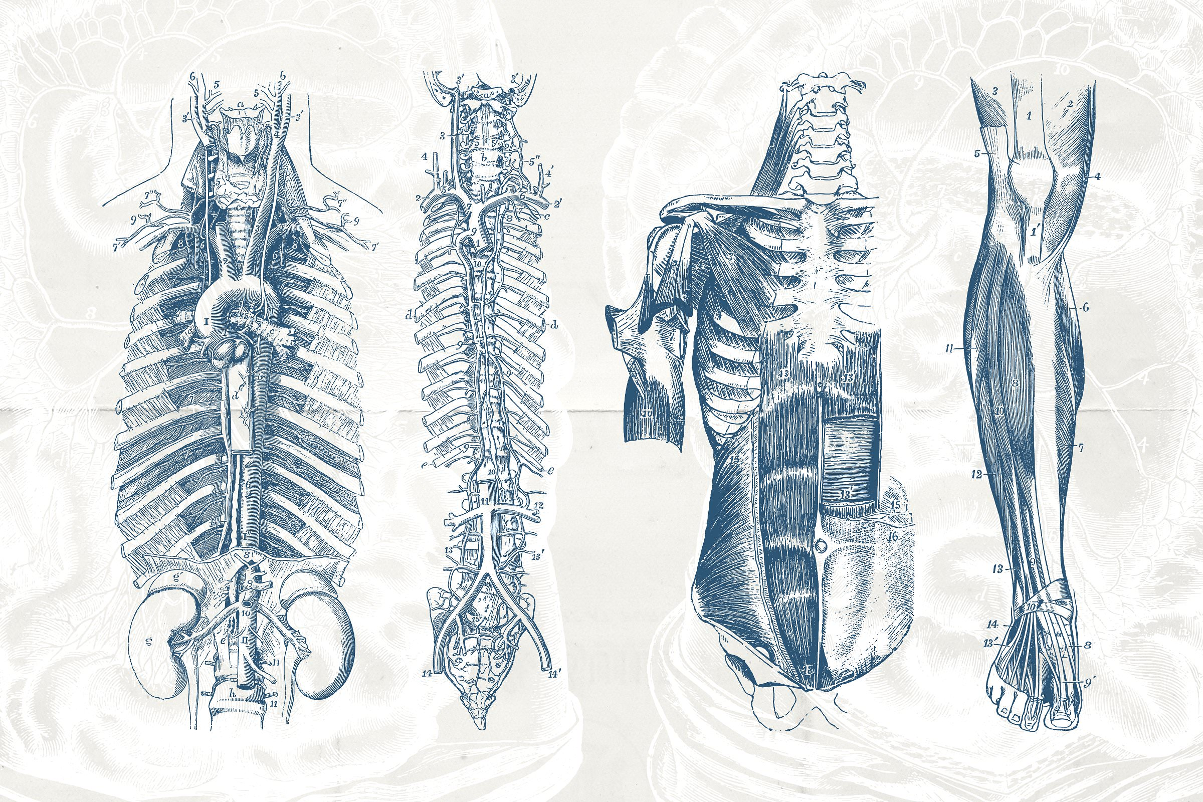 76 Vintage Anatomy Illustrations - Tom Chalky